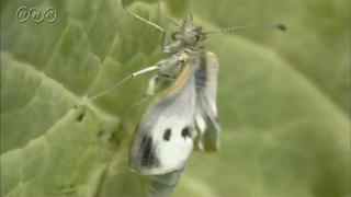せい虫になるモンシロチョウ