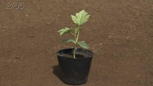 方 ヘチマ 植え
