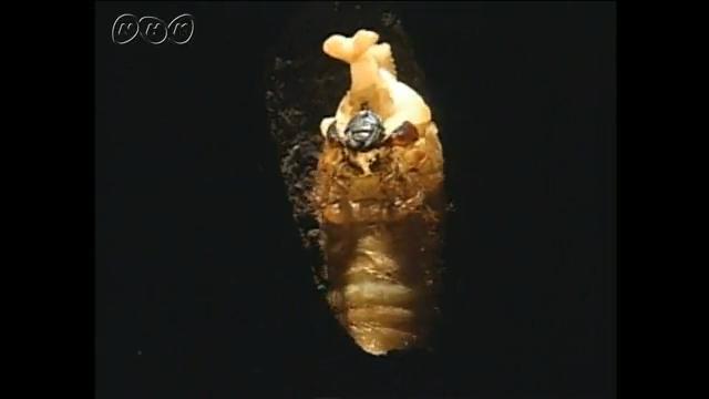 カブトムシ の さなぎ