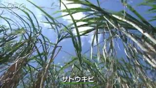 沖縄県の産業 サトウキビ
